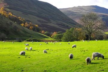 Sheep  Peak District England  UK
