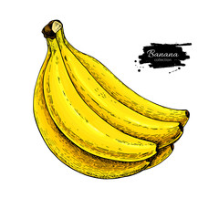 Banana bunch vector drawing. Isolated hand drawn object on white background. Summer fruit artistic
