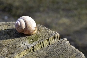 snail shell on an oak stump