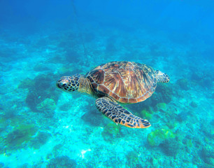 Wild turtle swimming underwater in blue tropical sea.