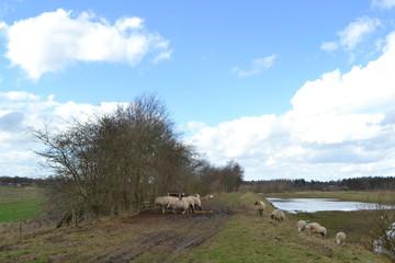 Wall Murals Sheep een kudde schapen op de dijk van de overstroomde rivier de Regge