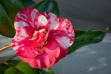 Japanese Camellia flower at VanDusen Botanical Gardens