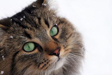 Das Gesicht von einer Norwegischen Waldkatze mit Schneeflocken