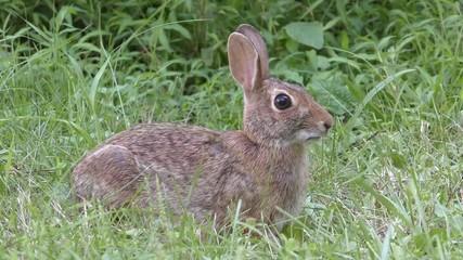 Fotoväggar - Eastern Cottontail Rabbit (Sylvilagus floridanus)