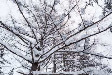 Bottom view of tree covered by snow, winter season, Japan.