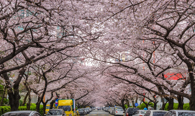 Cherry Blossom at Namcheon Street, Busan, South Korea