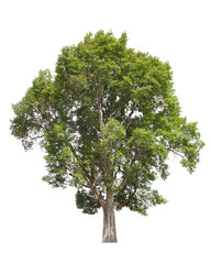 Tree Isolated on white background, Object element for design. Clipping path
