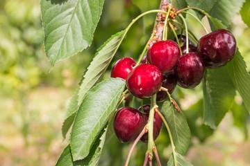 closeup of ripe red cherries on cherry tree