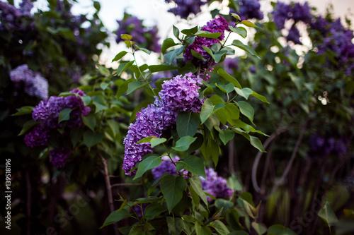 how to make a lilac bush bloom