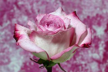 A closeup of a wet Pink Rose