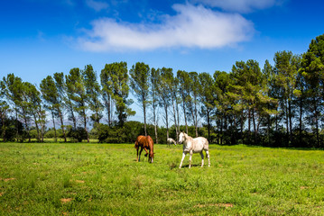 Horses in paddock surrounded by tall pine trees