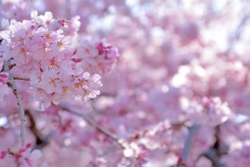 Spoed Fotobehang Kersenbloesem Red weeping cherry blossoms in japanese spring