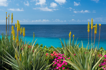 Blossoming, yellow flowers aloe-vera plant and blue sea, Curacao island Wall mural