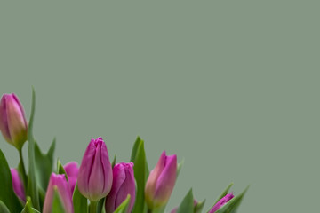 Greeting card with pink tulips.