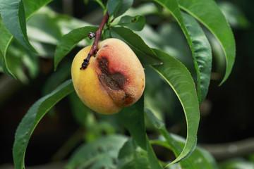 the rotten peach