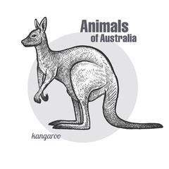 Kangaroo hand drawing. Animals of Australia series. Vintage engraving style. Vector illustration art. Black and white. Object of nature naturalistic sketch.
