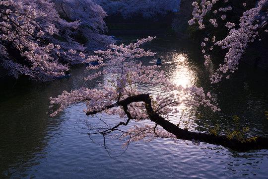 桜・千鳥ヶ淵