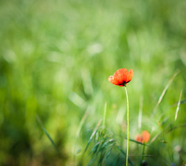 Red wild poppies on green glade.