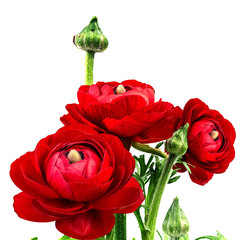 Ranunculus (persian buttercups), isolated