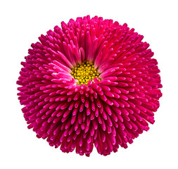 Photo sur Plexiglas Gerbera gerbera daisies isolated on white