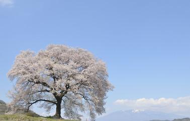 満開の鰐塚の桜
