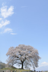 青空とわに塚の一本桜