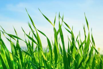 Wall Mural - Yeşil buğday yaprakları