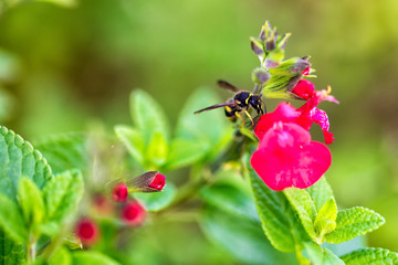 Wasp on red flower