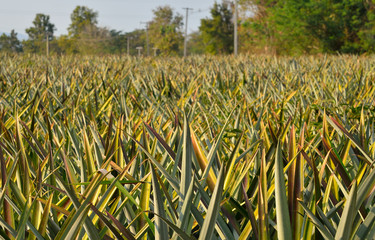 pineapple in a field