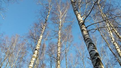 Beautiful landscape with white birches against blue sky.