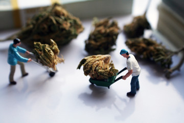Cannabis Men Moving Bud Around High Quality