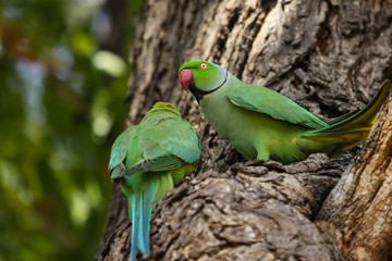 Couple of Rose ringed parakeets perching on a tree trunk, one facing, one from the rear, Ranthambore National Park, India