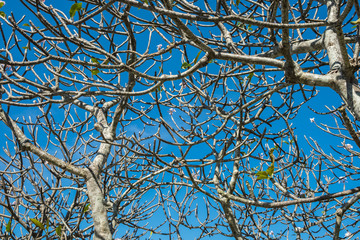 frangipani branches with blue sky
