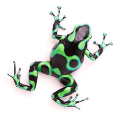 poison dart, Dendrobates auratus. A toxic tropical animal from the rain forest of Panama. and Costa Rica Isolated on a white background..