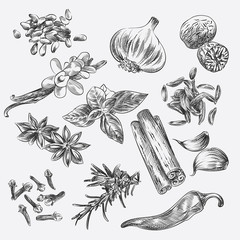 Hand drawn Set with herbs and Spices. Clove, garlic, nutmeg, vanilla, basil, caraway, anise, cinnamon, sesame, rosemary, chilli sketches. Spices sketch style vector illustration.