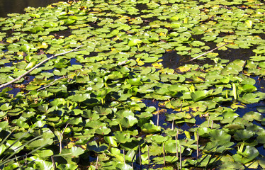Close up view of water lilies (Nymphaea) at Acarlar floodplain forest. Located in Sakarya Province, northwestern Turkey. It is a genus of hardy and tender aquatic plants in the family Nymphaeaceae.