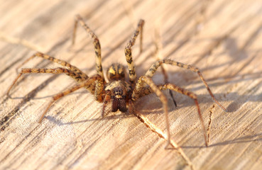 Spider on Wood surface