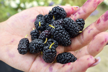 The fruits of mulberry in the hands of women