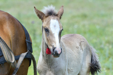 Portrait of a foal of mini-horse