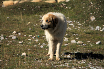 One sheepdog on Bjelasnica mountain near Sarajevo , Bosnia and Herzegovina