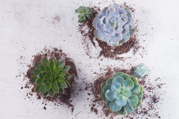 Succulent growing plants on white wooden background, top view
