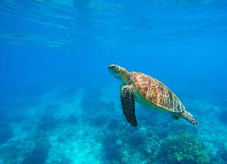 Swimming sea turtle in blue water. Sea tortoise snorkeling photo. Cute green turtle photo.