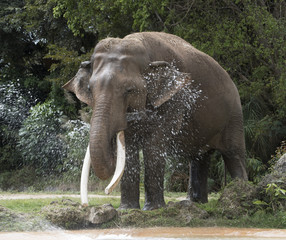 Happy Asian elephant spraying itself with water from its trunk.