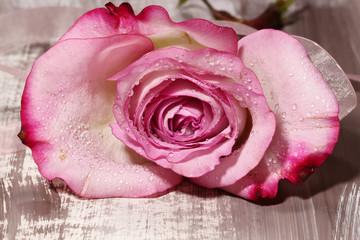 A wet pink Rose