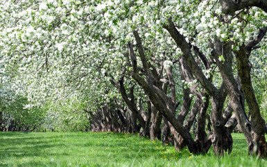 Blooming apple trees