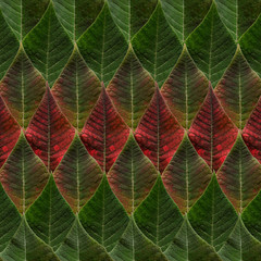 Green and red leaves from poinsettia
