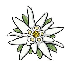 Edelweiss Blüte