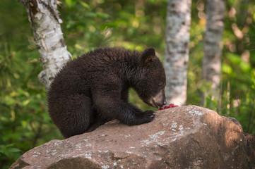 Black Bear (Ursus americanus) Cub SIts on Rock Eating Berries