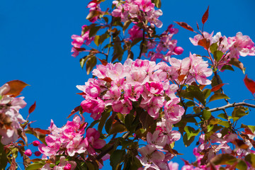 Spring apple blossom, pink flowers at the tree on the blue sky background