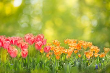 Frühling -  Hintergrund mit Tulpen und Bokeh